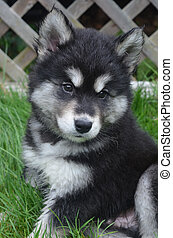Great Fluffy Face of an Alusky Puppy Dog - Gorgeous great...