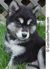 Furry and Fluffy Alusky Puppy About Two Months Old -...