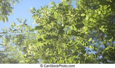 Green foliage of black locust. Robinia pseudoacacia -...