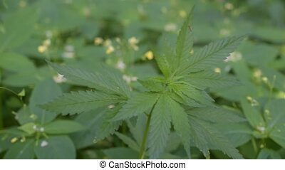 Cannabis. Hemp plant in natural environment - Cannabis....