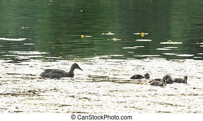 Mother duck with a flock of ducklings in pond
