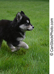 Alusky Puppy Dog Prancing Through Lush Green Grass - Cute...