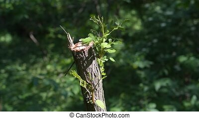 Regeneration of nature. Sawn down tree starts to grow new...