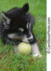 Gorgeous Alusky Puppy Dog Playing with a Ball - Amazing...