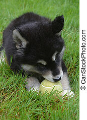 Fluffy Alusky Puppy Chewing on a Tennis Ball - Sweet alusky...