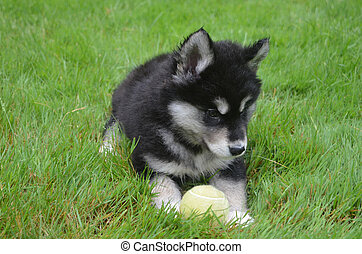 Gorgeous Alusky Puppy Dog Laying Grass with a Tennis Ball -...