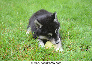 Alusky Puppy Dog Chewing on a Tennis Ball - Two month old...