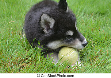 Alusky Puppy Dog Chewing on a Yellow Tennis Ball - Alusky...