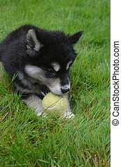 Eight Week Old Alusky Puppy Dog Laying in Grass - Alusky...