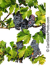 Row of ripe background - Row of ripe red grapes. Seasonal...