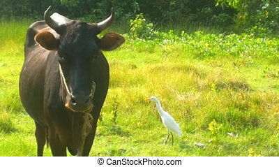 Typical birds of India in typical biotope 12. Cattle egret...