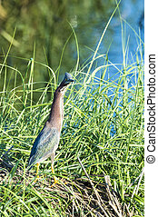Wary Green Heron pauses foraging along edge of stream