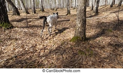 Dalmation dog running with a piece of wood on a field....