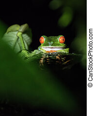 Red eyed frog in Costa Rica at night