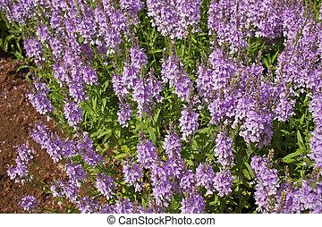 Veronica, flores,  teucrium