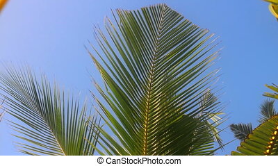 Web of young coconut tree beautiful shivers in wind -...