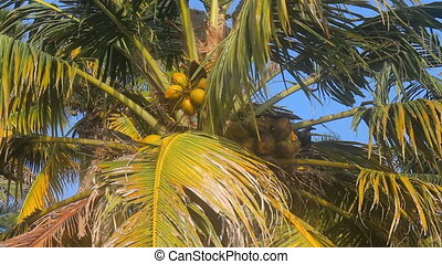 crown of coconut palm in spring. Fruit. Heard Hindu hymn