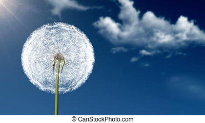 Dandelion seeds being blown in the wind