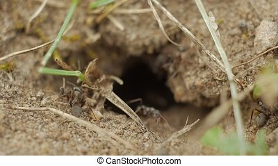 Slow motion: ants crawling around the entrance to an...