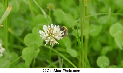Carder Bee collecting nectar from white clover.
