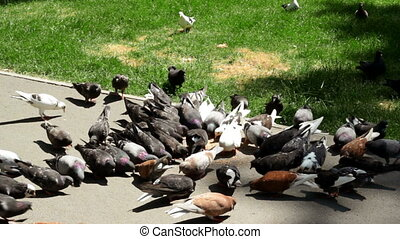 a flock of doves eat grains in the Park