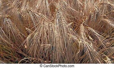 Slider shot of ripe wheat ready for the harvest - Slider...