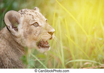baby lion head shot among  dense grasses with flare light