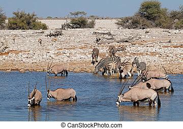 Gemsbok and zebras at waterhole - Gemsbok (Oryx gazella) and...