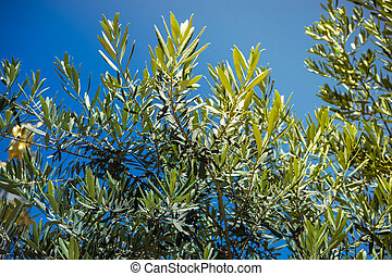 Olive tree as a natural background