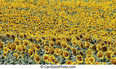 sunflowers field hot summer day