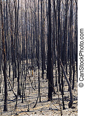 Aftermath of a bushfire, dead and blackened trees