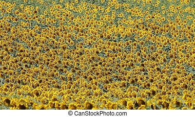 sunflowers field nature background
