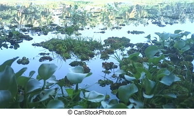 Introduced plant species 3. Water hyacinth - green plague,...