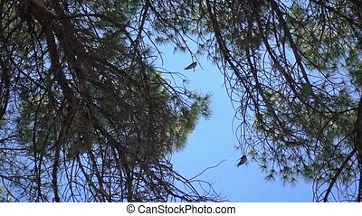 swallows on the sea pine