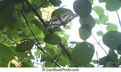 Butterfly Ideopsis juventa hits in web. India. - Butterfly...