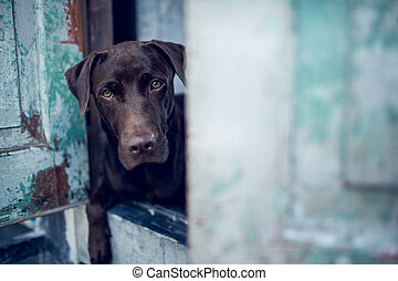 labrador retriever looking like use the eye appeal to his owner at old door.- Selective focus on eye dog. vintage color style