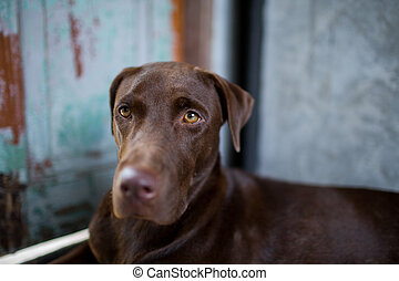 labrador retriever looking like use the eye appeal to his owner.- Selective focus on eye dog. blur background