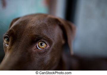 labrador retriever looking like use the eye appeal to his owner.- Selective focus on eye dog.