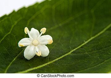 Elder or elderflower (Sambucus nigra) - Flower and leaf of...