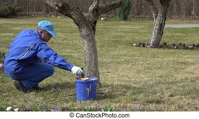 gardener paint tree trunk with brush in orchard spring time....