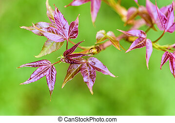 Red young leaves Maple - Red young leaves of Maple,...