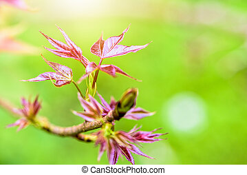 Red young leaves Maple in spring - Red young leaves of...