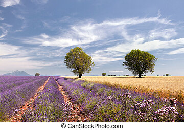 Wheat and lavender - Wheat fields next to the lavender...