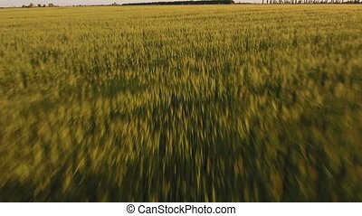 Aerial shot of a wheat field in Eastern Europe in a sunny...