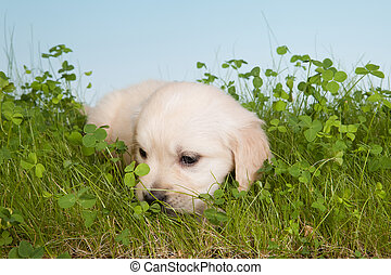 Lonely dog - 6 weeks old golden retriever puppy lonely in...