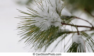 snow winter tree evergreen branch with heavy on it - snow...