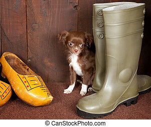 Chihuahua and shoes - Big boots with a three months old...