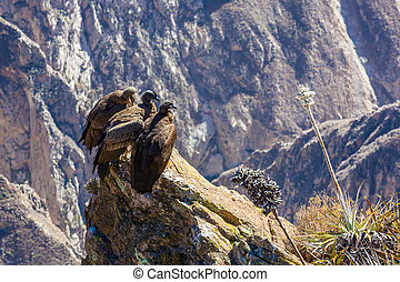Three Condors at Colca canyon sitting,Peru,South America....
