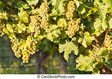 ripe white Riesling grapes on vine in vineyard - closeup of...
