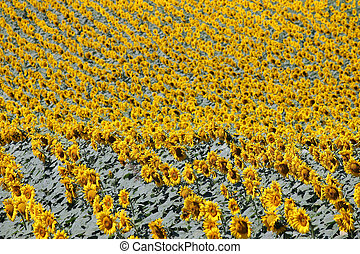 sunflower field nature background summer season